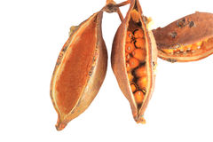 Kurrajong tree seed pods isolated Royalty Free Stock Image