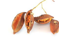 Kurrajong tree seed pods Royalty Free Stock Photography