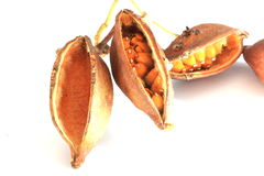 Kurrajong tree seed pods Royalty Free Stock Images