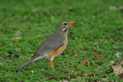 Kurrichane Thrush. The bird is normally seen in gardens, on the ground, between flower beds or on the lawn Stock Images
