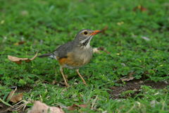 Kurrichane Thrush on lawn. The bird was in one of the Rest Camps in the Kruger Park Stock Photo