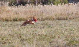 kursieren Basenji-Hundelauf nach einem Köder Grasartiges Feld Lizenzfreie Stockfotos