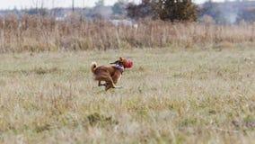 kursieren Basenji-Hundelauf nach einem Köder Grasartiges Feld Lizenzfreie Stockbilder