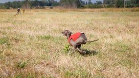 kursieren Hund des italienischen Windhunds, der über das Feld läuft Lizenzfreie Stockfotos
