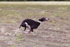 kursieren Whippethund, der in das Feld läuft Stockfotografie
