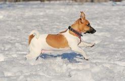 kursstålarrussel terrier Royaltyfria Bilder