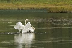 Kurtis för stum svan på en sjö i Alaska royaltyfri bild