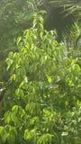 Kurudu drzewo Zdjęcia Stock
