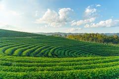 Kurva av lantgården för grönt te royaltyfria bilder