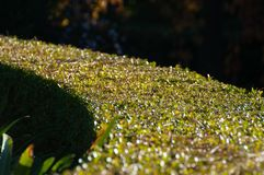 Kurve der grünen Hecke, Strauchnaturhintergrund stockfoto