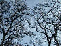 Kurven-Niederlassungen von Bäumen im Frühjahr auf dem Hintergrund des blauen Himmels stockfotos