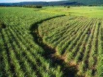 Kurven Sie Bahn im grünen Zuckerrohrbauernhof in Phitsanulok, Thailand lizenzfreies stockfoto