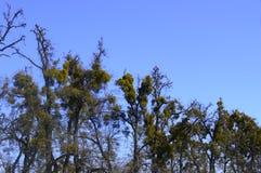 kurvt alte Bäume stockbilder