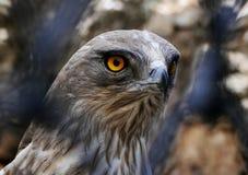 Kurz-ausgewichene Schlange Eagle durch Zaun Stockbild