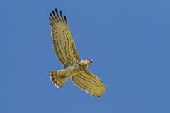 Kurz-ausgewichener Eagle Holding Snake Lizenzfreie Stockfotografie