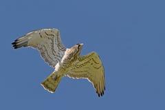 Kurz-ausgewichener Eagle Holding Snake Stockfotografie