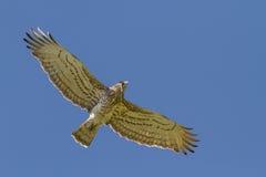 Kurz-ausgewichener Eagle Holding Snake Lizenzfreie Stockbilder