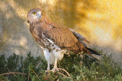 Kurz-toed Schlange-Adler Stockfoto
