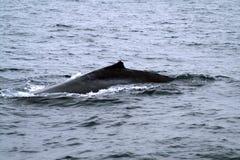 Kurze Rückenflosse des Wals im Ozean lizenzfreie stockfotografie