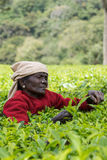 Kurze schwarze gegenübergestellte Dame wählt Teeblätter aus Stockbilder