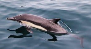 Kurzer schnabelförmiger gemeiner Delphin Stockfotografie