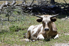 Kurzes gehörntes Longhorn auf Texas Ranch stockfotos