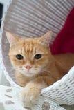 Kurzes Haar der Katze Lizenzfreies Stockbild