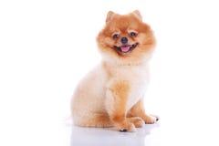 Kurzes Haar des Pomeranian-Hundebrauns Stockfoto