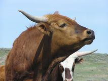 Kurzes Hupen-Vieh stockbild
