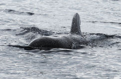 Kurzflossiger Pilot Whale Lizenzfreie Stockfotografie