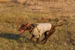 kurzhaar的德意志的一只猎犬 库存图片