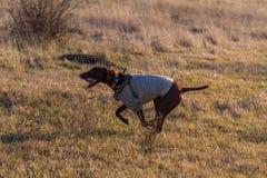 kurzhaar的德意志的一只猎犬 图库摄影