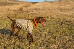 kurzhaar的德意志的一只猎犬 免版税库存图片