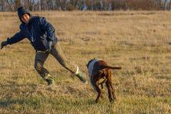 kurzhaar的德意志的一只猎犬 免版税图库摄影