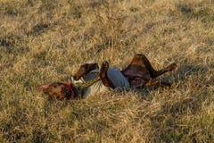 kurzhaar的德意志的一只猎犬 免版税库存照片