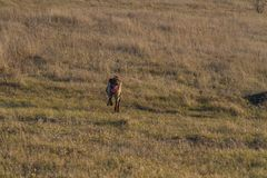 kurzhaar的德意志的一只猎犬 库存照片