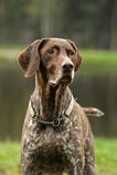 Kurzhaar dog Royalty Free Stock Images