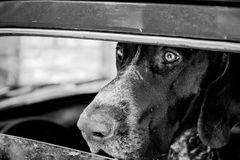 Kurzhaar dog is waiting in the car royalty free stock images