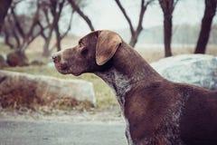Kurzhaar. German shorthaired pointer - Hunter dog Stock Photo
