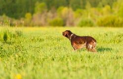 Kurzhaar on green grass Stock Photos