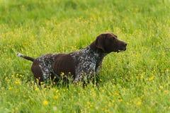 Kurzhaar on green grass Stock Photography