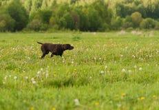 Kurzhaar on green grass Stock Image