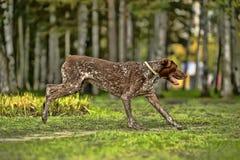 Kurzhaar hund Royaltyfria Foton