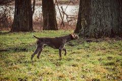 Kurzhaar - Jagershond Stock Foto