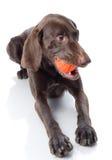 Kurzhaar with toy. Royalty Free Stock Photo
