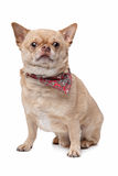 Kurzhaarige fette Chihuahua lizenzfreie stockfotografie