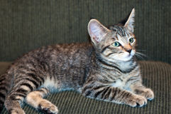 Kurzhaarige Grey Tabby Kitten Lying auf grüner Couch Lizenzfreie Stockfotografie