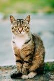 Kurzhaarige inländische junge Katze Gray And White Mixed Breeds, Sitt Lizenzfreie Stockfotos