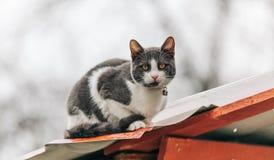Kurzhaarige Katze der Mischzucht, die auf einer Dachspitze im Regen anstarrt entlang des Kamerazoomobjektivs steht Lizenzfreies Stockfoto