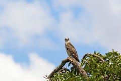 Kurzschluss ausgewichener Schlangenadler in einem Baum Stockbilder